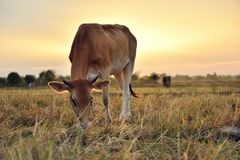 The cows are eating grass for pleasure in the fields at sunrise and the beautiful sky.  Royalty Free Stock Photos