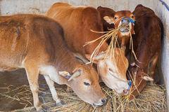 Cows eating hay Royalty Free Stock Photo
