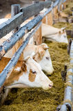 Cows eating hay from feeding rack Royalty Free Stock Photos