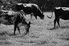 Cows eating monocromatic Stock Image