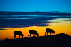 Cows eating in a mountain. At sunset Stock Photo