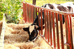 Cows eating straw Stock Images