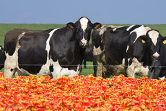 Cows eating Tulips Royalty Free Stock Photos