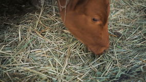 Cows eats hay in the farm stock video