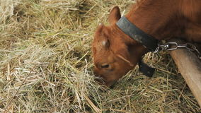Cows eats hay in the farm stock footage