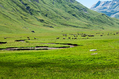 Cows in Echo's Valley, Huesca Stock Photo