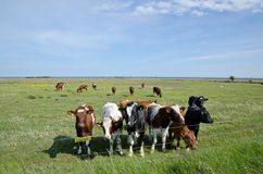 Cows at electric lines. In a green field Stock Photos