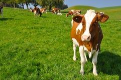 Cows in Emmental region Stock Photos