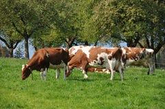 Cows in Emmental region Stock Photo