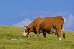 Cows and English countryside, UK. Cows and Typical English countryside, East Sussex Royalty Free Stock Images