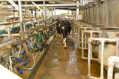 Cows enter a milking shed. A modern pit type high speed milking station on a dairy farm Royalty Free Stock Photos