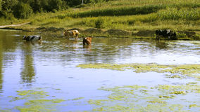 Cows entered in pond Royalty Free Stock Photo