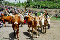 Cows in Ethiopia. Zebus, cows with big horns Royalty Free Stock Photos
