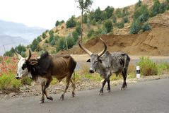 Cows in Ethiopia. Cows on a road of Ethiopia, in Africa Stock Photo