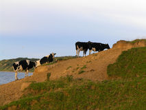 Cows in evening light. Black and white cows on hillside in evening light royalty free stock images
