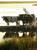 Cows in the evening sun. In the meadows of Zeeland in the Netherlands royalty free stock photo