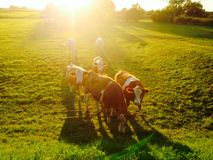 cows in evening twilight sun Stock Photography