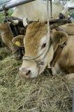 Cows exposition. Color image Stock Photos