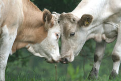 Cows face to face Stock Photography