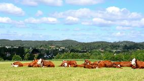 Cows  factory stock footage
