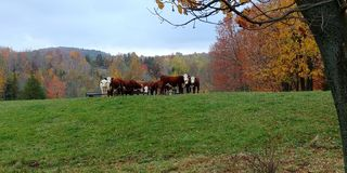 Cows in the fall royalty free stock image