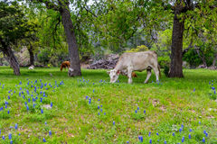 Cows in Famous Texas Bluebonnet (Lupinus texensis) Wildflowers. Cattle in a Beautiful Field Blanketed with the Famous Texas Bluebonnet (Lupinus texensis) stock photo