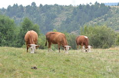Cows at the far end of field Stock Photography