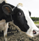 Cows on Farm Royalty Free Stock Images