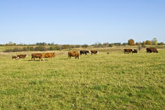 Cows on a Farm. Field of cows, oxen and calves Stock Photography