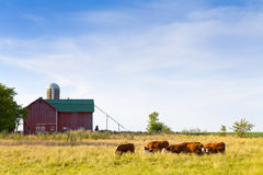 Cows on Farm. American Farm With Cows and Cloudy Sky Stock Image