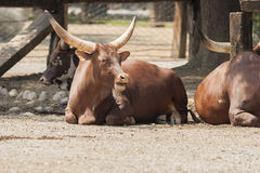 Cows in the farm Royalty Free Stock Photography