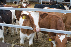 Cows on a farm. Royalty Free Stock Images