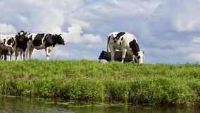 Cows on Farm Against Sky Stock Photos