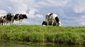 Cows on Farm Against Sky stock photos