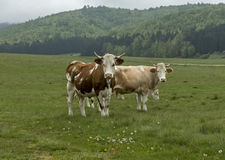 Cows and farm animals grazing in the meadow Stock Image