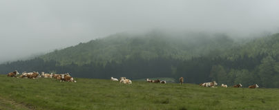 Cows and farm animals grazing in the meadow Royalty Free Stock Image
