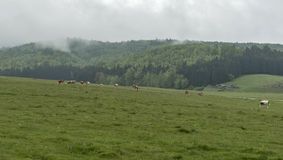 Cows and farm animals grazing in the meadow Royalty Free Stock Photos