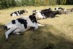 Cows, farm animals, in a meadow. Cows grazing in a meadow. Sunny Royalty Free Stock Photography
