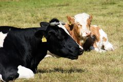 Cows, farm animals, in a meadow. Cows grazing in a meadow. Sunny Royalty Free Stock Photos