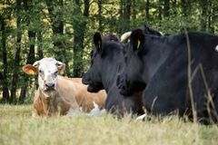 Cows, farm animals, in a meadow. Cows grazing in a meadow. Sunny Stock Photography