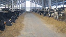 Cows in farm barn eating hay. Cow farm indoors. stock video