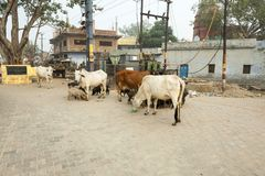 Cows behind the fence farm in Bhaktivedanta Goshala India. India, Vrindavan, November 2016 Royalty Free Stock Photo