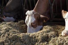 Cows farm Stock Photography