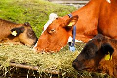 Cows in farm. Grazing from a hay pile Stock Image
