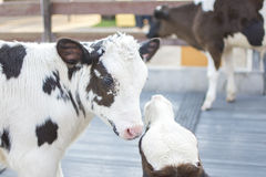 Cows in farm. Dairy cows. Cows in farm. Calf play happily. Dairy cows. selective focus Royalty Free Stock Image