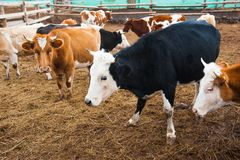 Cows in a farm. Dairy cows. Cowshed stock images