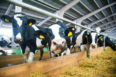 Cows in a farm. Dairy cows royalty free stock photography