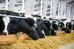 Cows in a farm. Dairy cows royalty free stock photo
