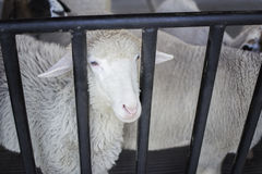 Sheep in farm. Selective focus Stock Photos