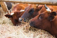 Cows in a farm. Dairy cows royalty free stock image